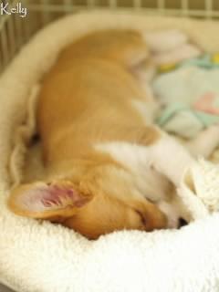 寝てるコーギーのケリー