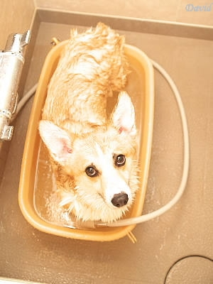 入浴中のコーギー