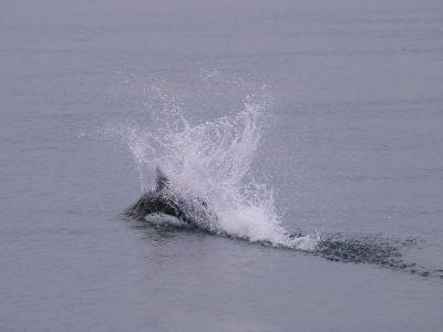 水しぶきを上げるイシイルカ