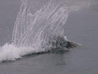 V字の水しぶきのイシイルカ