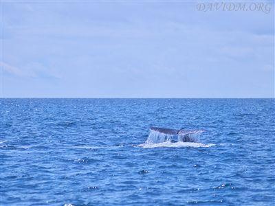 マッコウクジラのダイブ