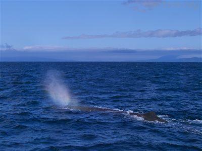 虹色のブロウを上げるマッコウクジラ