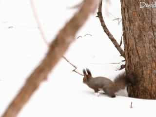 雪上を走るエゾリスの写真