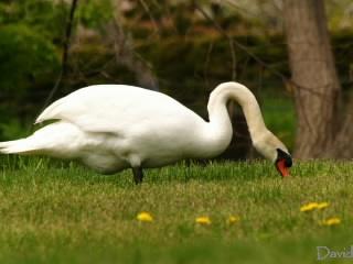草を食べる白鳥
