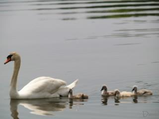 泳ぐ白鳥の子供