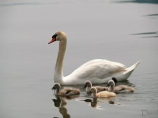 母親と泳ぐ白鳥