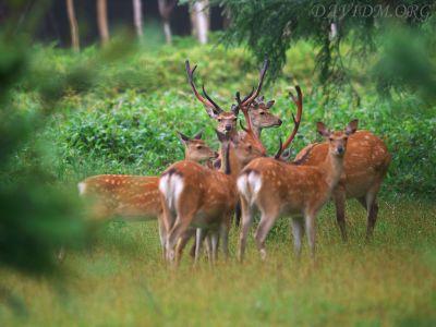 エゾシカの群れの写真