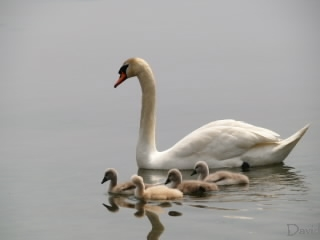 マミーを追い抜く子白鳥達