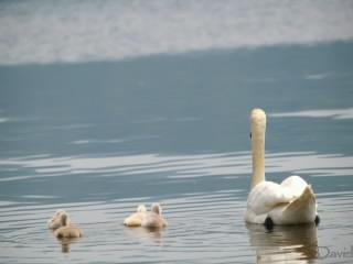 母親の前を泳ぐ子白鳥