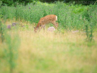 エゾシカの小鹿