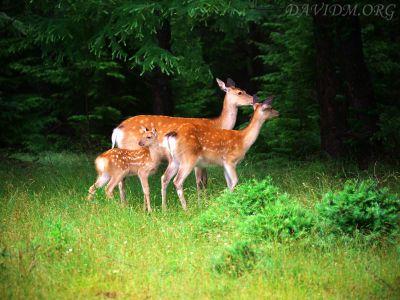 小鹿とエゾシカの家族