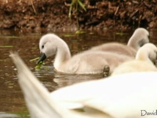 餌を食べる子白鳥