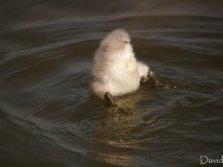 水にもぐる白鳥