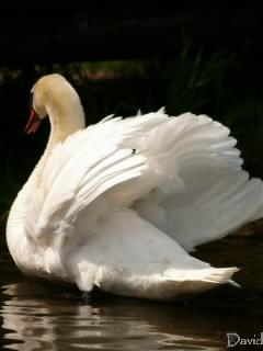 威嚇する白鳥