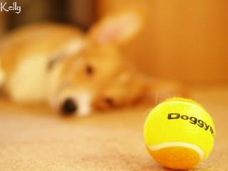 ボールを見つめるコーギー