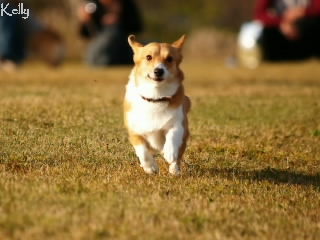 走るコーギーのケリー