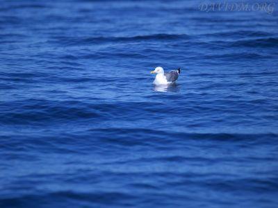 波間に漂うコアホウドリの写真