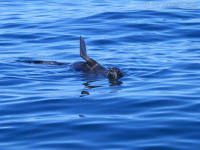 泳ぐキタオットセイ