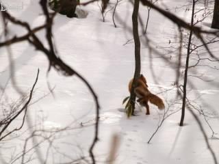 縄張りを主張するキタキツネの写真