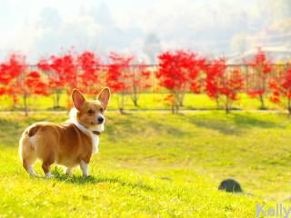 秋の公園とコーギー