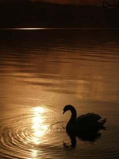 洞爺湖の朝陽を浴びる白鳥