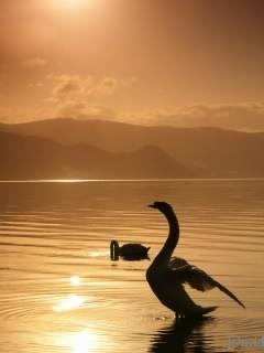 洞爺湖の日差しを浴びる白鳥