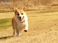 笑顔で走るコーギー