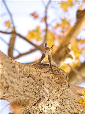 木を降りてくるエゾリス