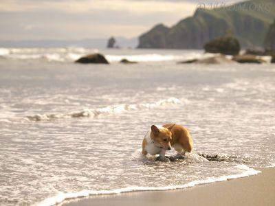 波にのまれるコギイルカ
