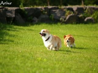 公園で走るコーギー