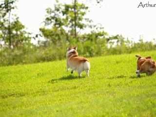 走る二匹のコーギー