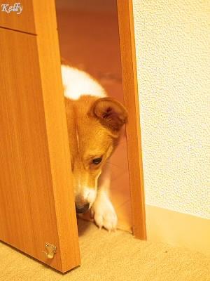 ドアを開けるコーギーのケリー
