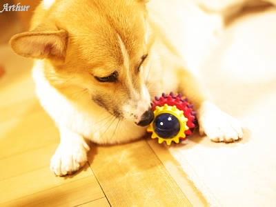 おもちゃで遊ぶコーギー