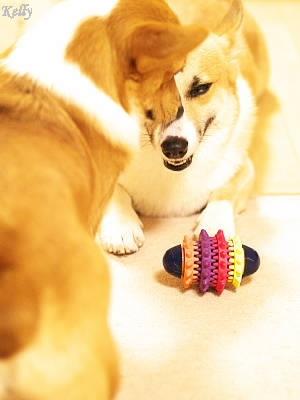 おもちゃを取り返しにきたコーギーのケリー