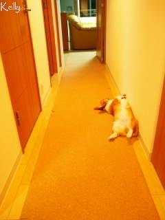 廊下に寝るコーギー