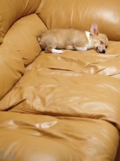 ソファで寝るコーギー