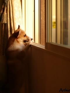 窓をのぞくコーギー