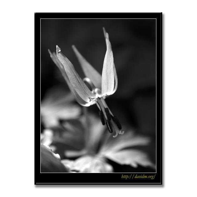 光に透けるカタクリの花