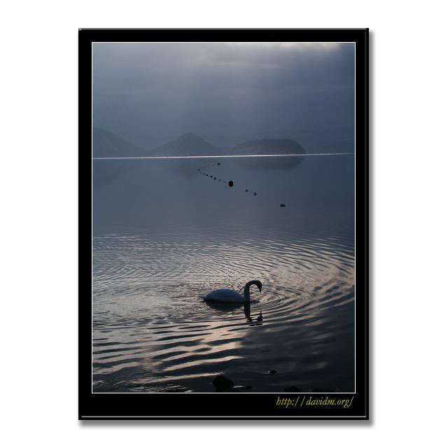 光の中の白鳥@洞爺湖