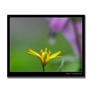 キバナノアマナとカタクリの花