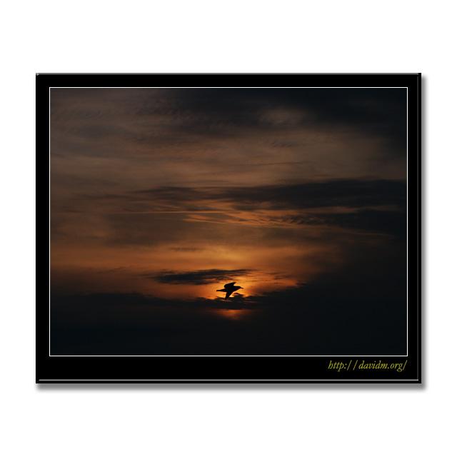 夕陽を横切るカモメ