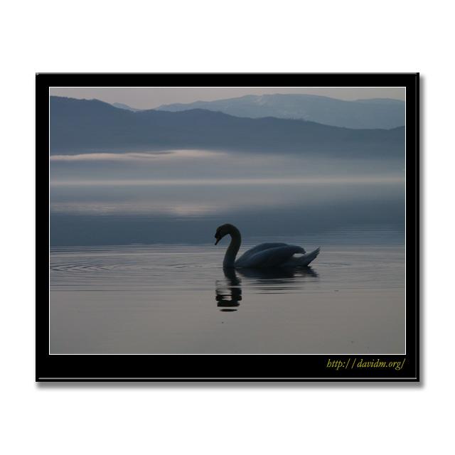 霧がかった湖面をすべる白鳥