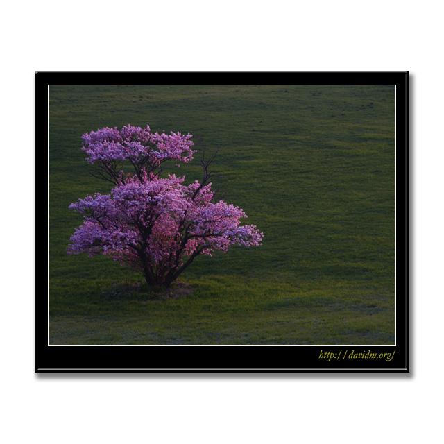 朝陽を受ける崎守の一本桜