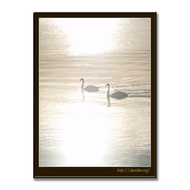 朝の光を泳ぐ2羽の白鳥