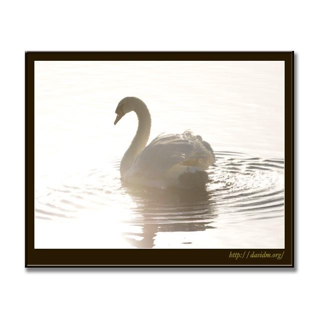 朝の空気を楽しむ白鳥