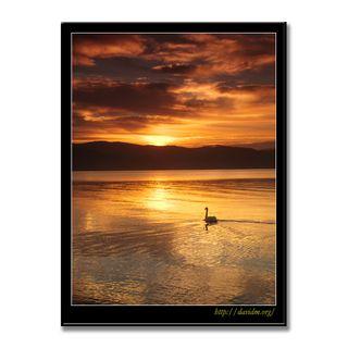 朝陽へ泳ぐ一羽の白鳥の写真