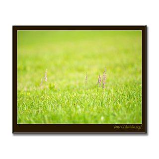芝生に咲くネジバナ