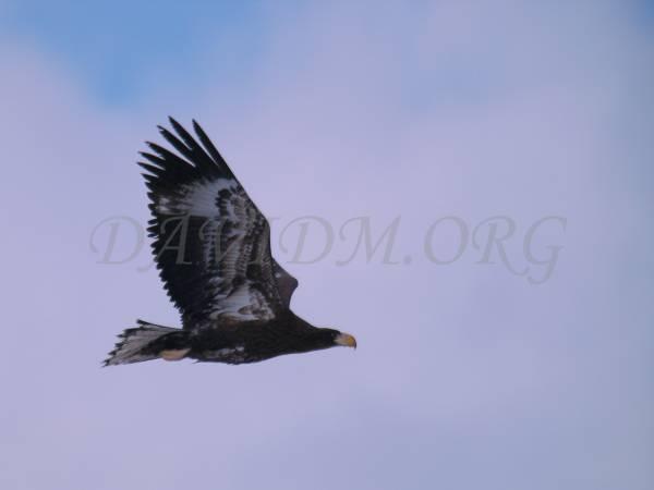オオワシの飛翔の写真