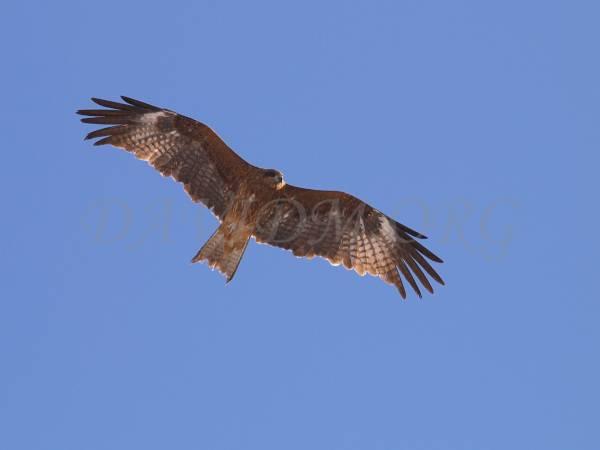 空を飛ぶトンビの写真