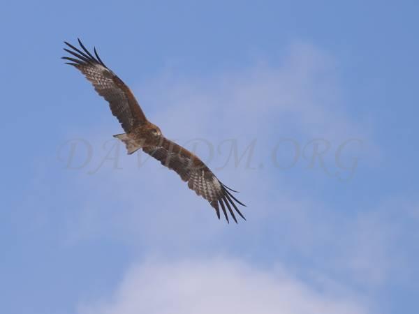 空を飛ぶトビの写真